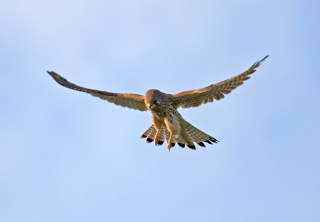 A common kestrel (Falco tinnunculus) hovering in mid-air