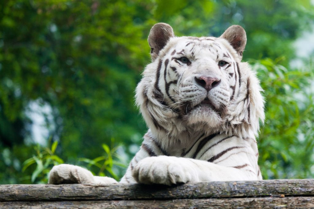White tiger in a zoo