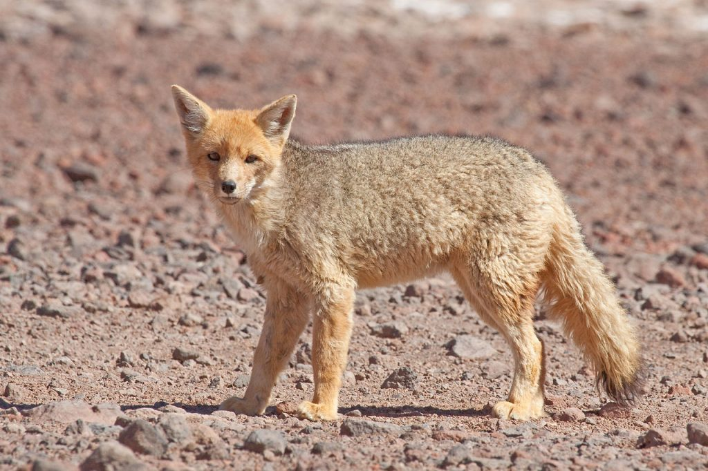 A culpeo (Lycalopex culpaeus), also known as the Andean fox