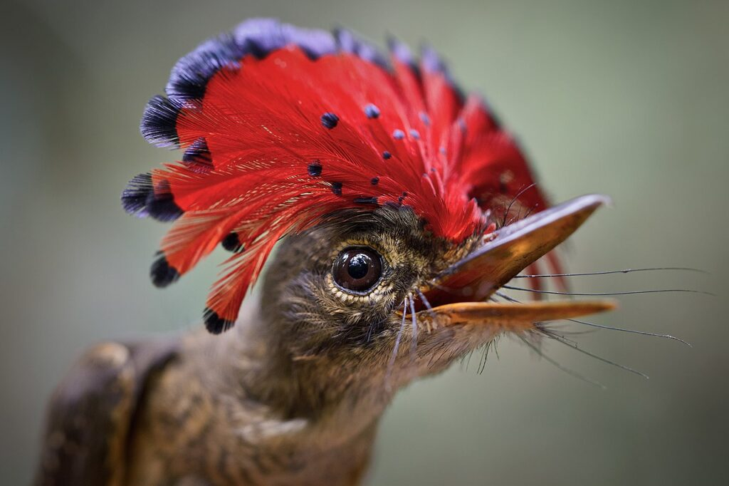 An Amazonian flycatcher (Onychorhynchus coronatus) to celebrate Amazon Day