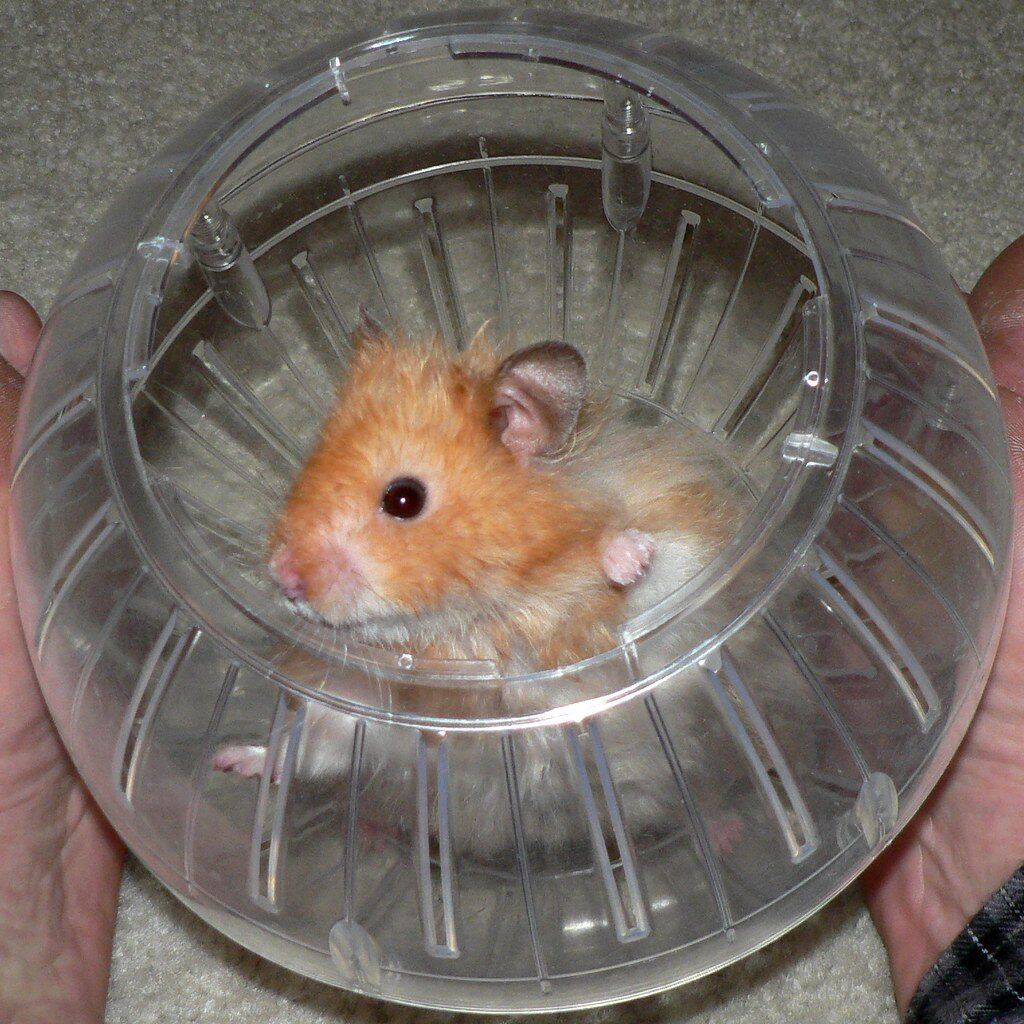 A hamster in a hamster exercise ball