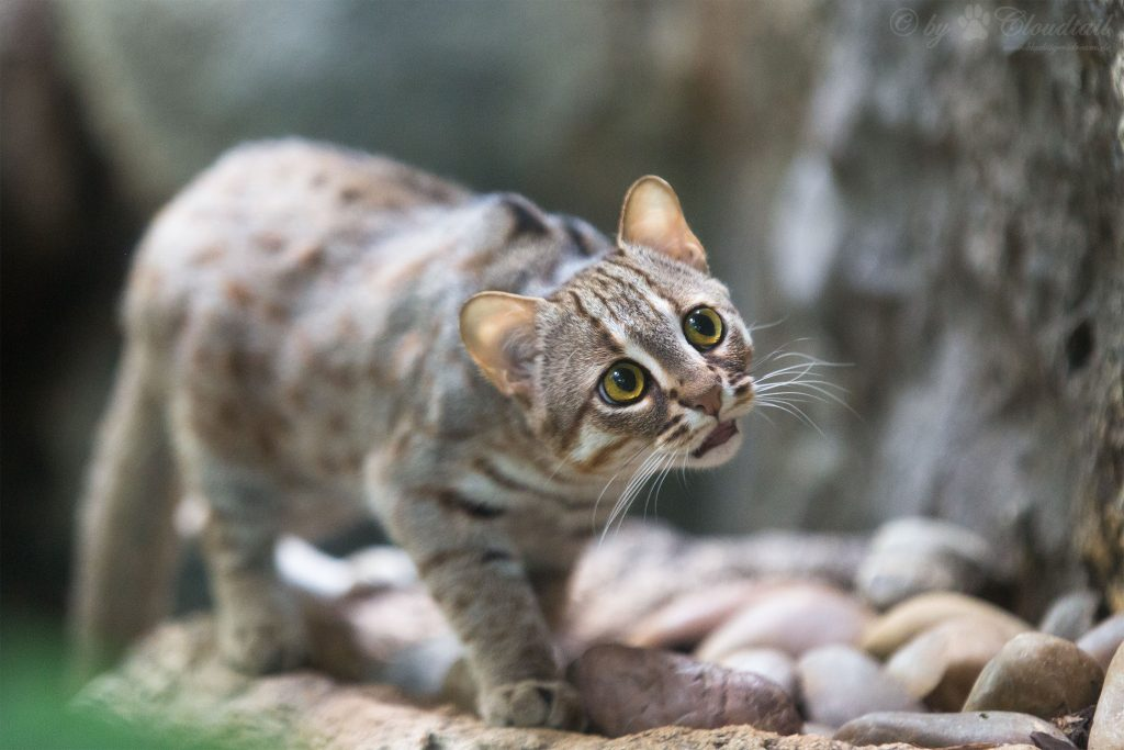 The rusty-spotted cat (Prionailurus rubiginosus), the smallest wild cat in the world