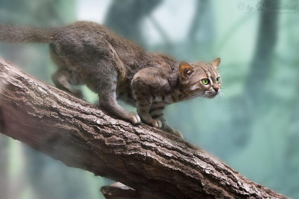 A rusty-spotted cat (Prionailurus rubiginosus)
