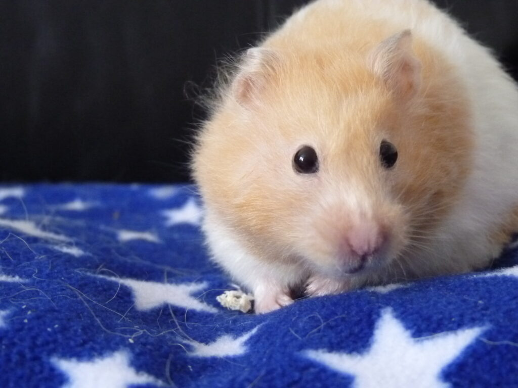 Our Syrian hamster, Bonnie