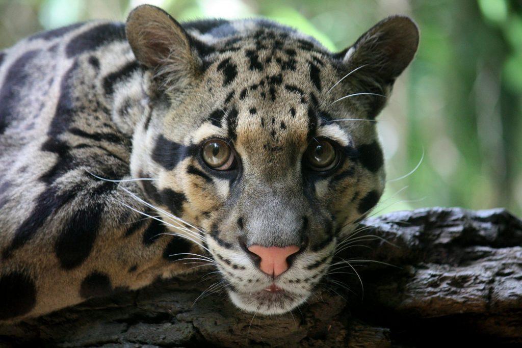 Clouded leopard (Neofelis nebulosa)