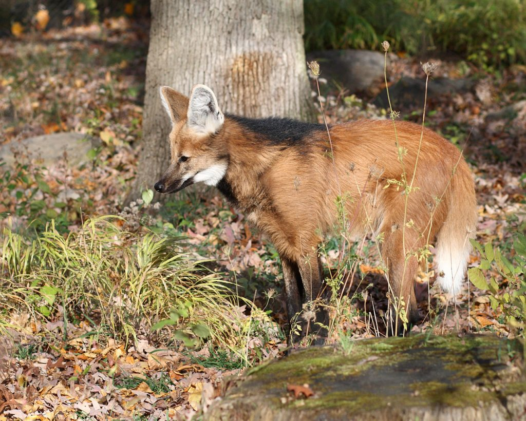 A maned wolf (Chrysocyon brachyurus) - a weird wild dog