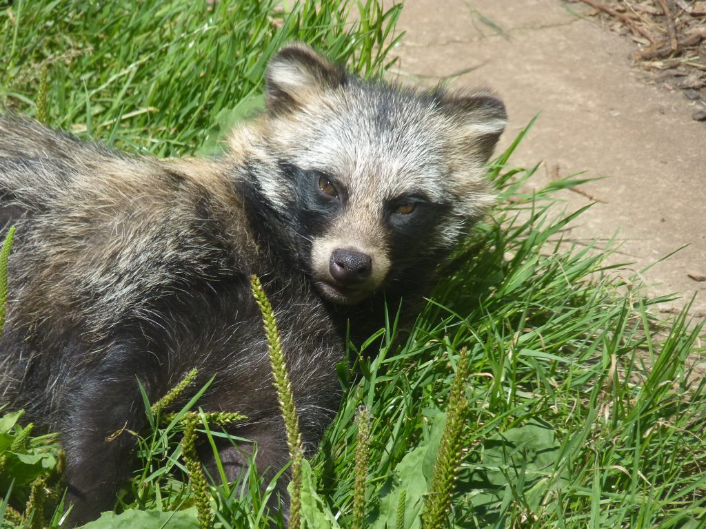 A weird wild dog - a raccoon dog (Nyctereutes procyonoides) lying down in the grass
