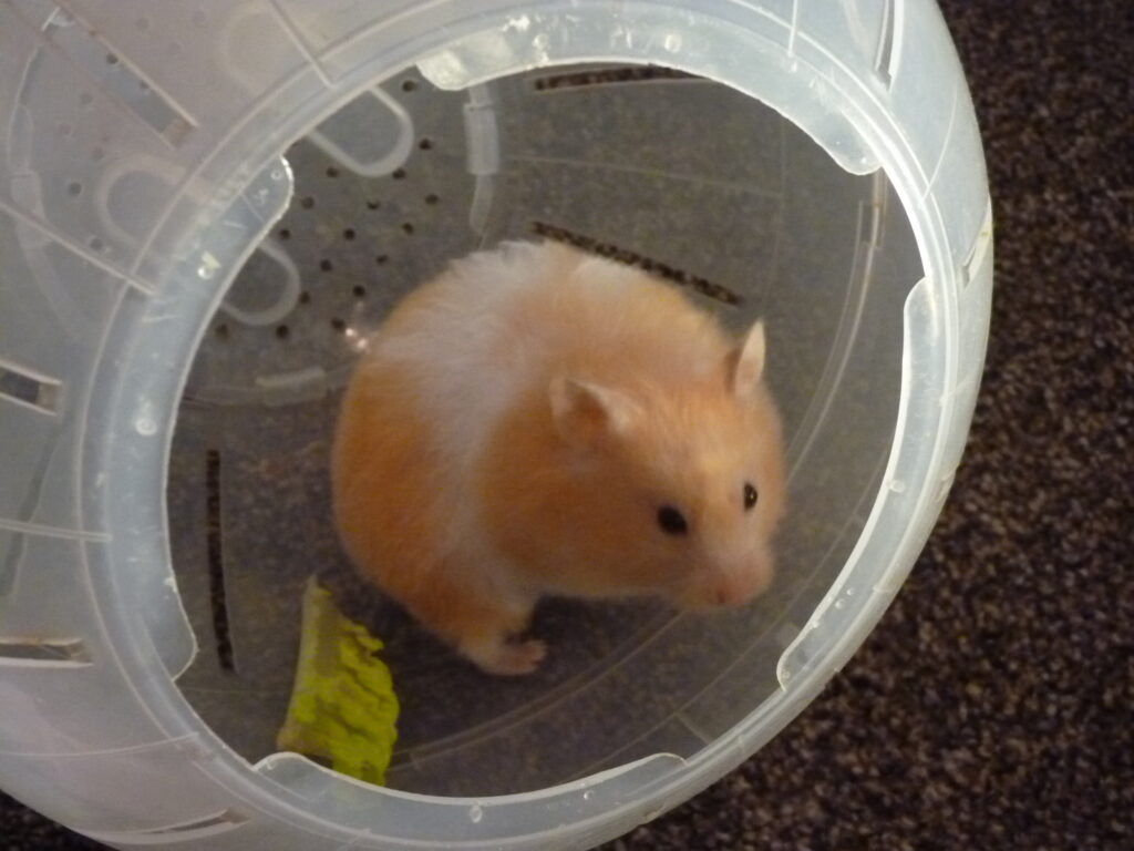 Bonnie, our Syrian hamster, in a hamster exercise ball