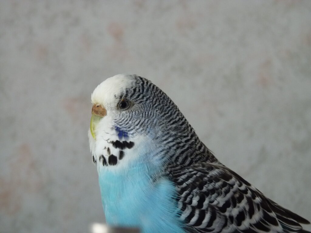 A blue budgie. There are many things in your house that are toxic to parrots and may shorten a budgie's lifespan.