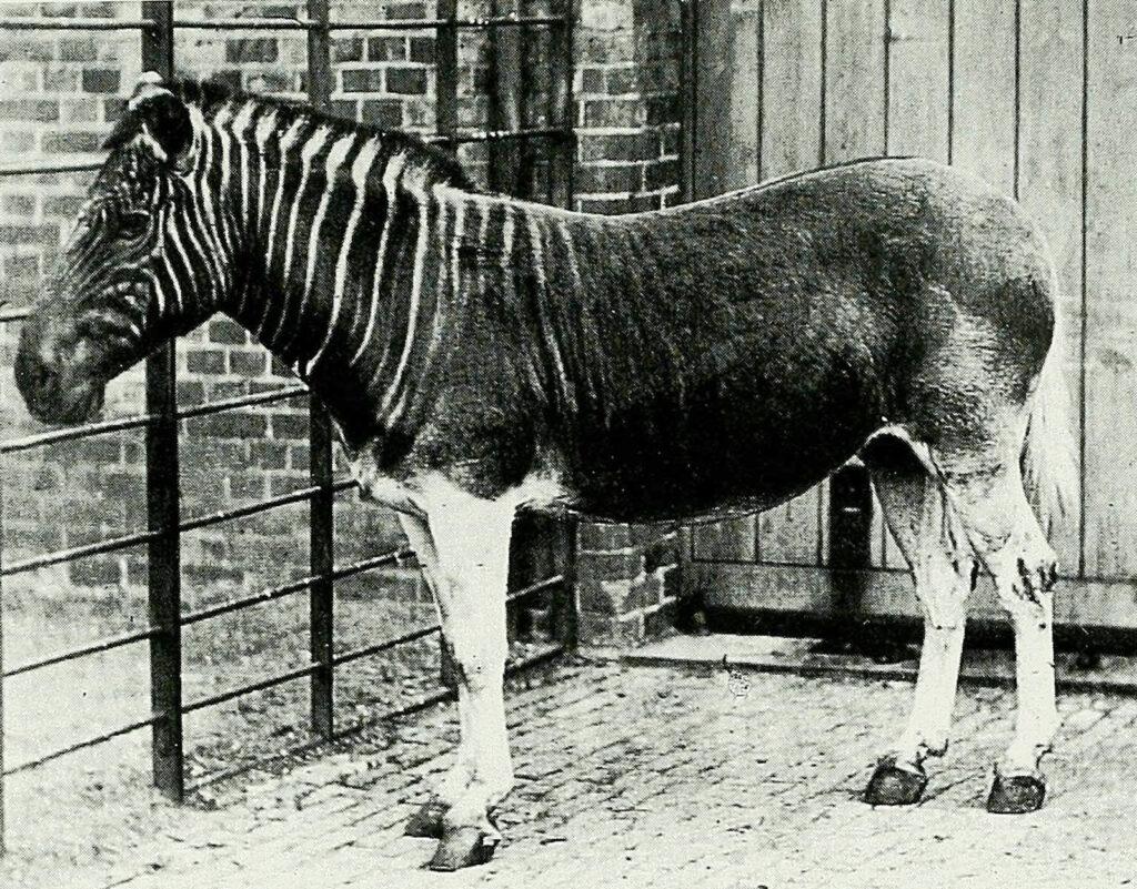 And old photograph of a quagga at London Zoo