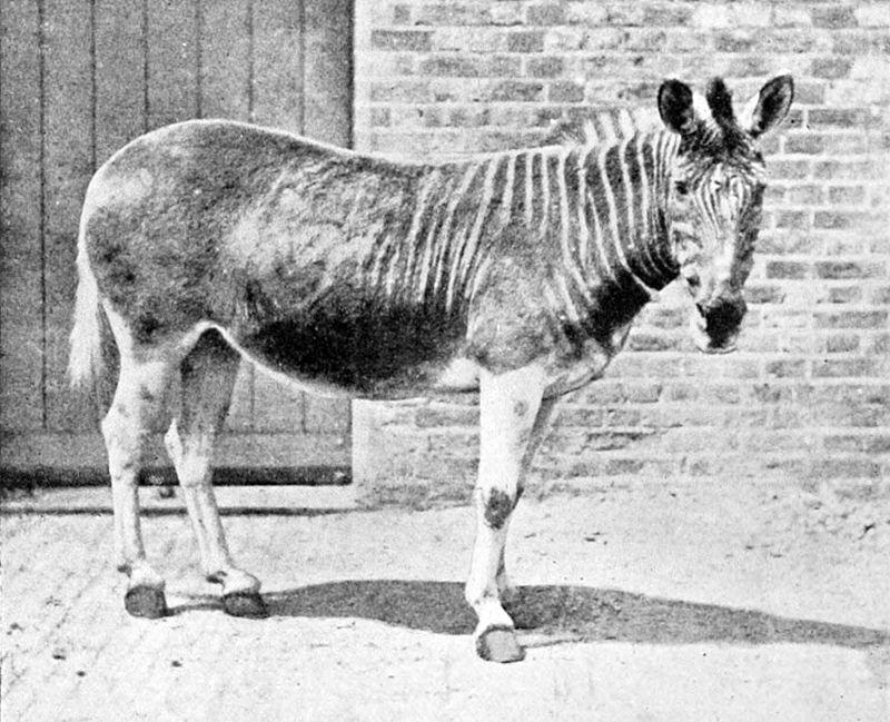 An old photograph of a quagga at London Zoo