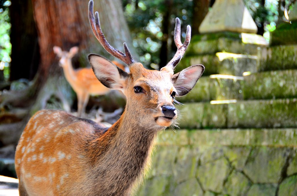 Sika deer in the Japanese city of Nara started wandering the streets during lockdown