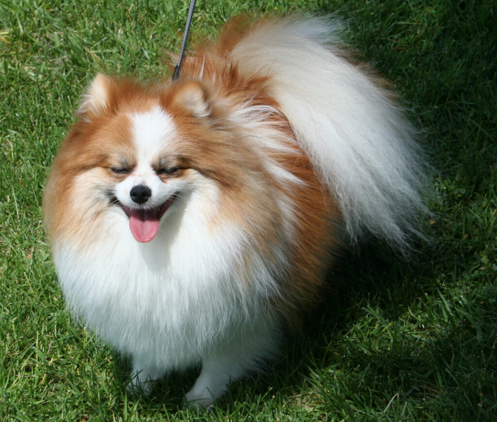 A Pomeranian dog breed