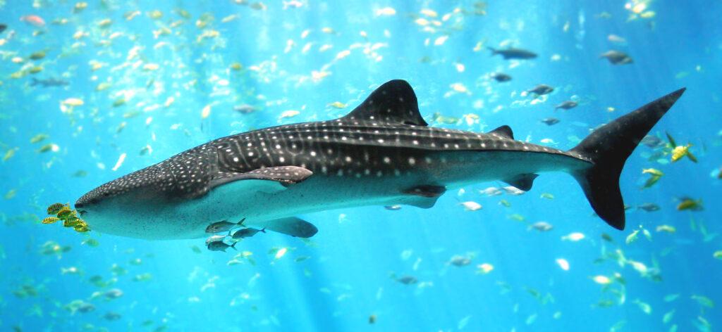 A whale shark at Georgia Aquarium