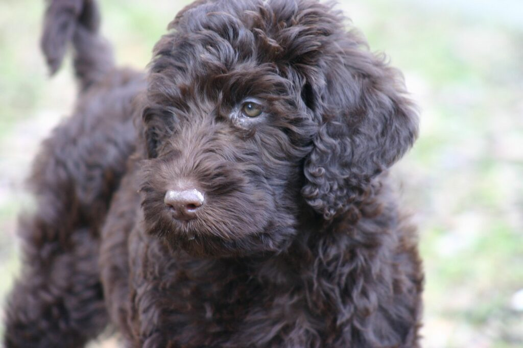 Labradoodle dog breed