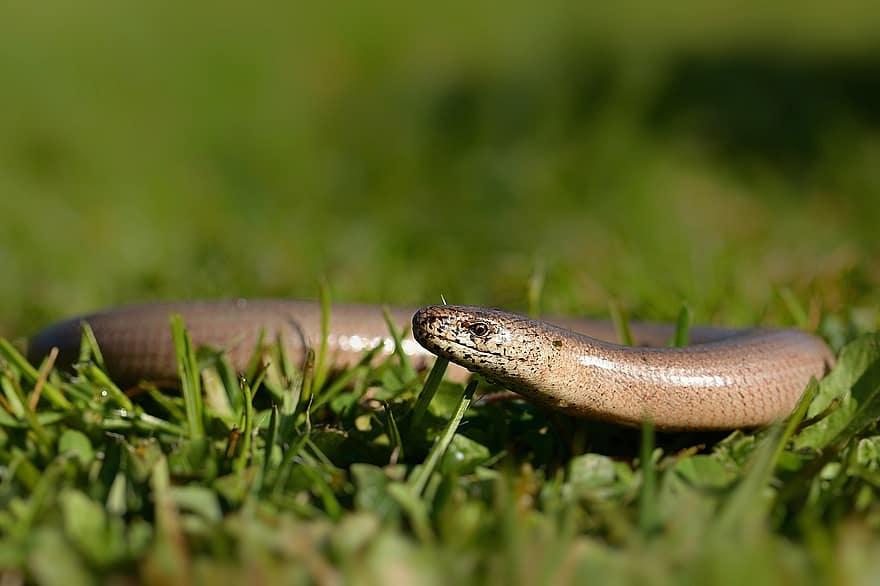 A slow-worm in the grass