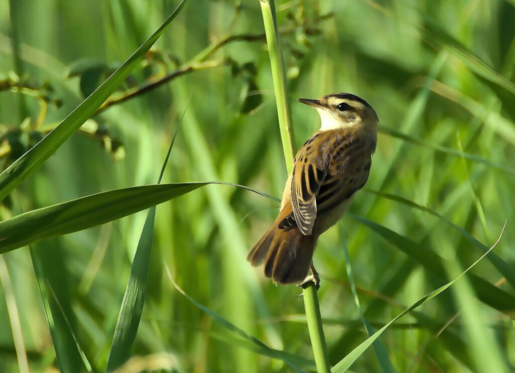 An aquatic warbler perched on some grass