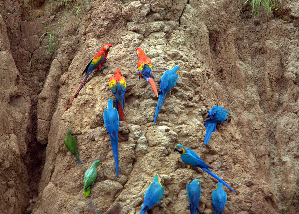 Several different species of parrot, including scarlet macaw and blue-and-yellow macaw, on a clay lick in the Amazon