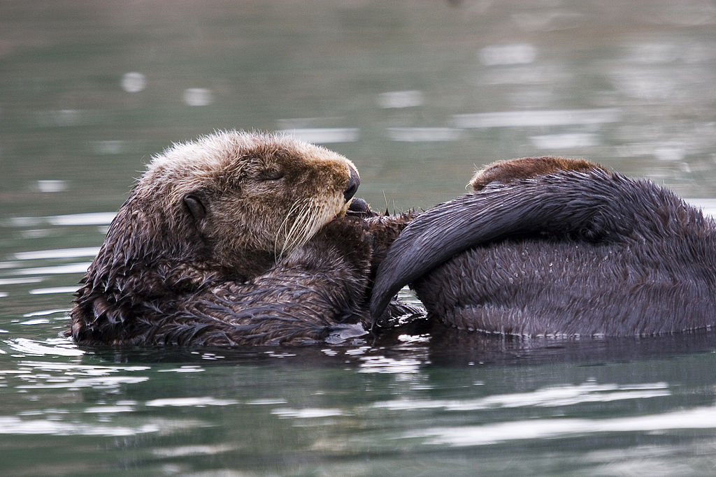 A sea otter grooming itself on the surface of the ocean