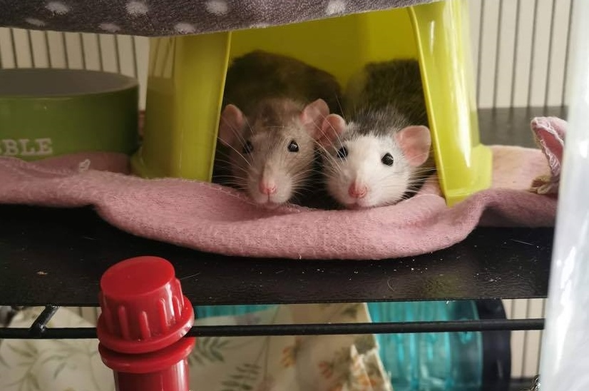 Two pet rats resting together in their cage