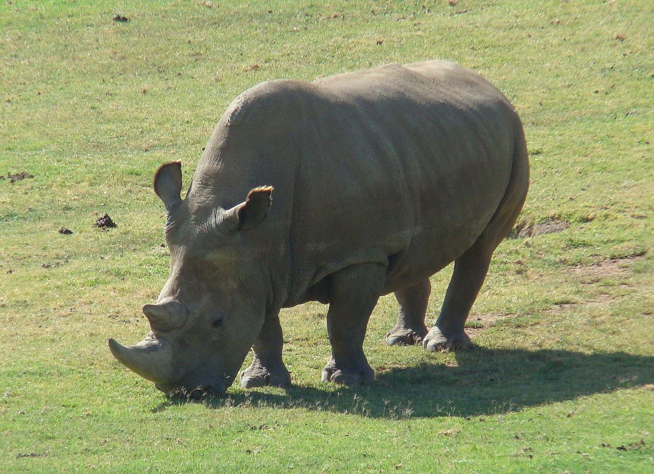 The Rarest Rhino