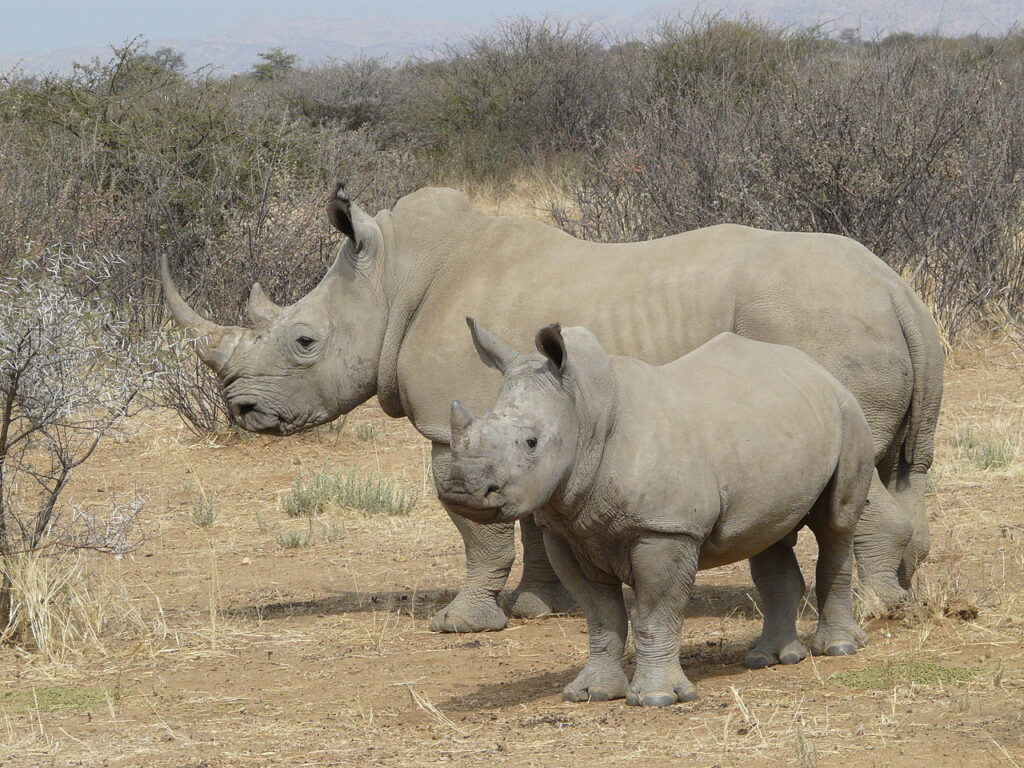 A southern white rhino and her calf