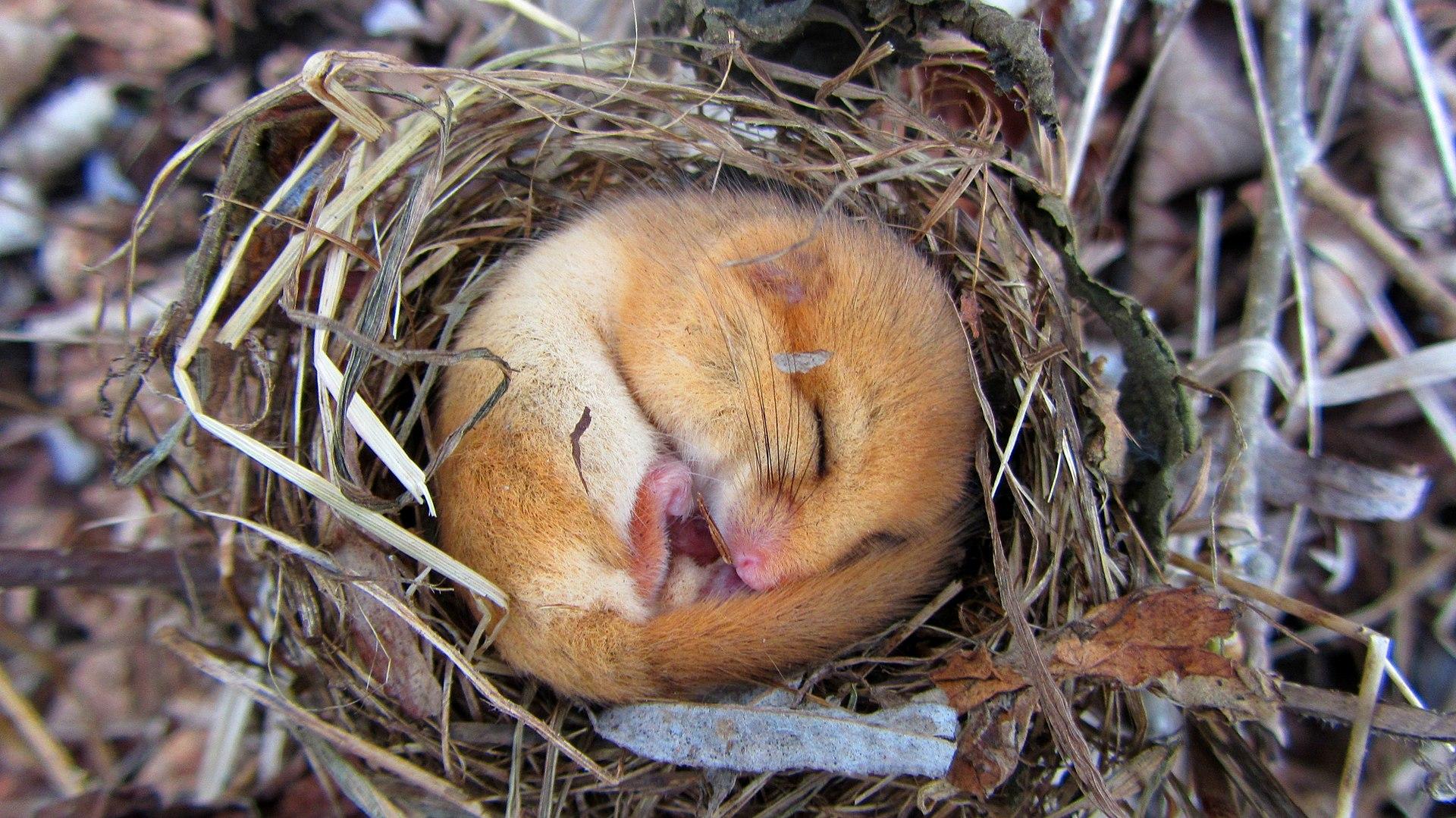 British Wildlife of the Week: Hazel Dormouse