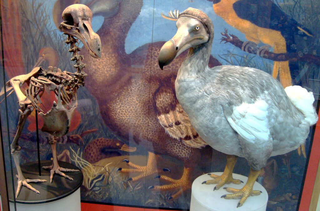 A dodo skeleton cast and a dodo model standing next to each other in a museum