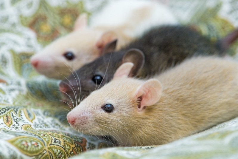 Three pet rats sitting next to one another