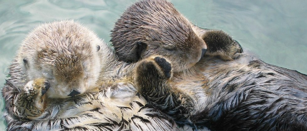 Two sea otters sleeping on the surface of the ocean, holding paws