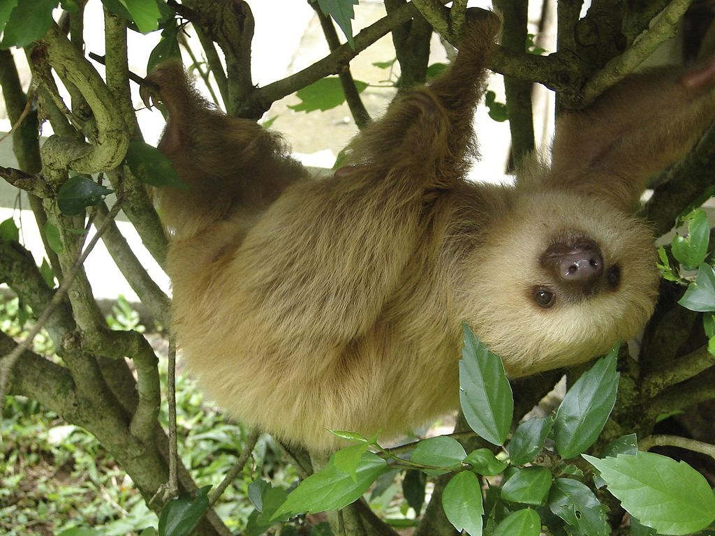 A two-toed sloth hanging upside down in a tree