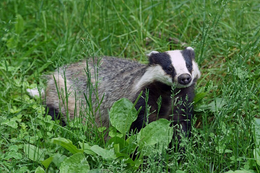 A European badger in the grass