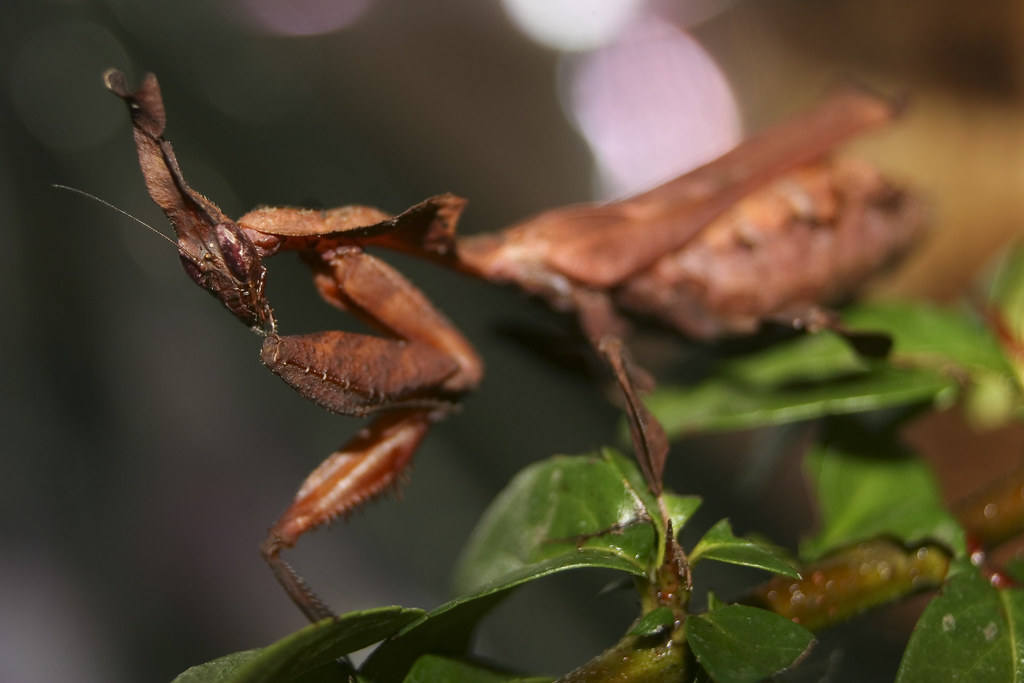 A ghost mantis on some leaves