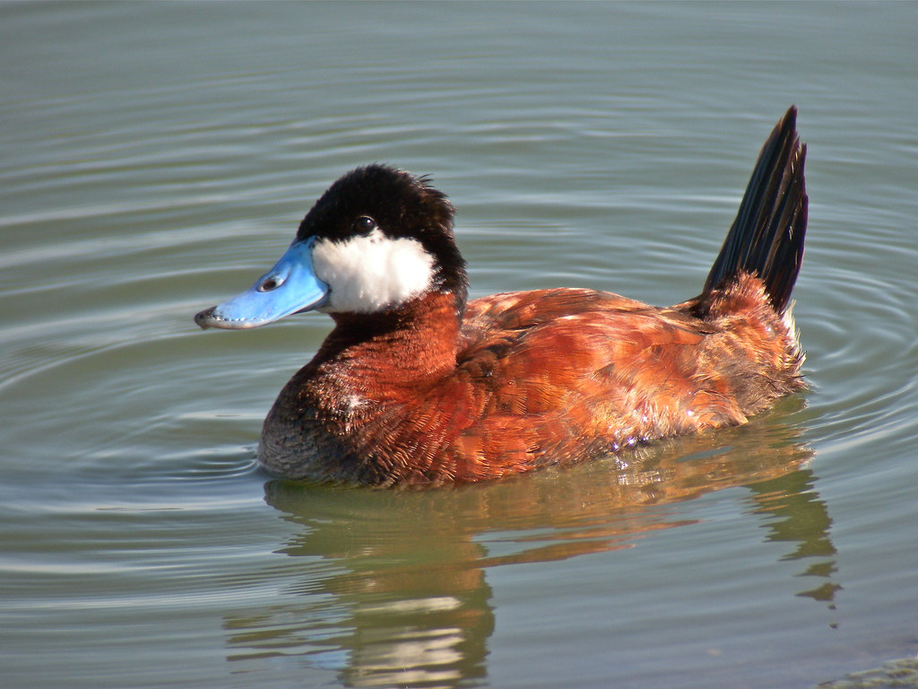 British Wildlife of the Week: Ruddy Duck