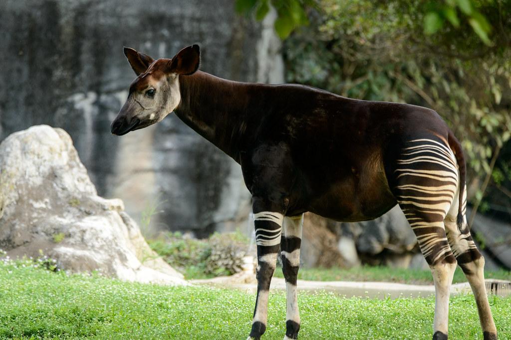 An okapi in a zoo