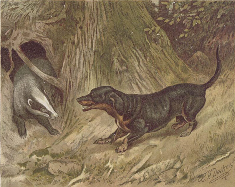 An illustration of a badger being cornered by a dachshund