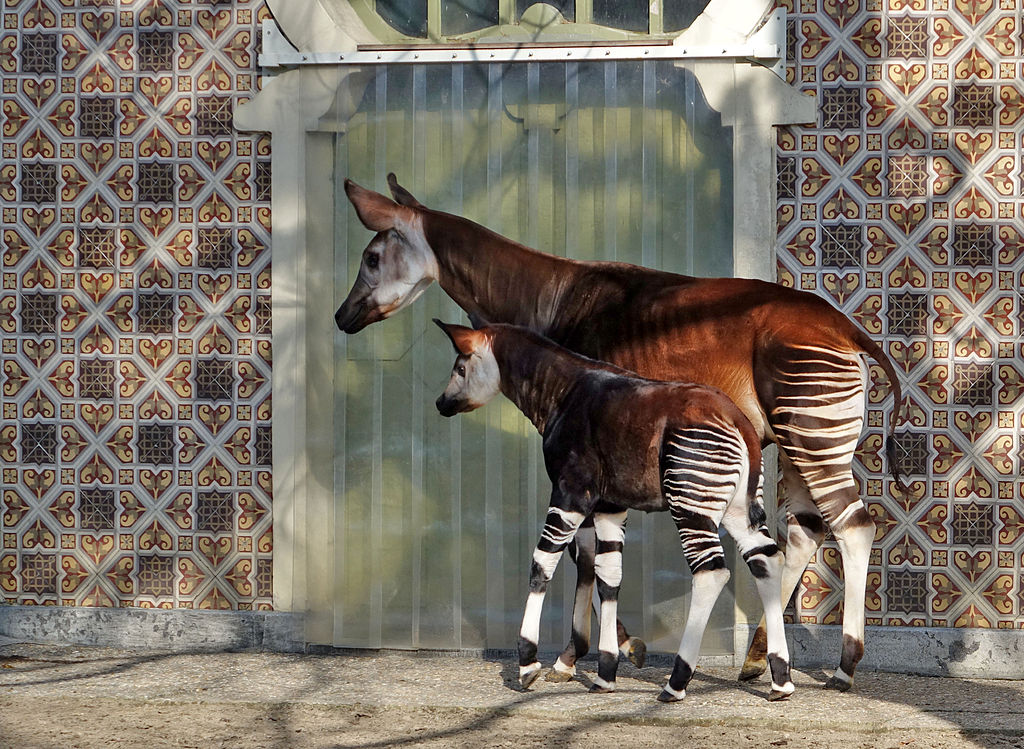 An okapi mother and her calf