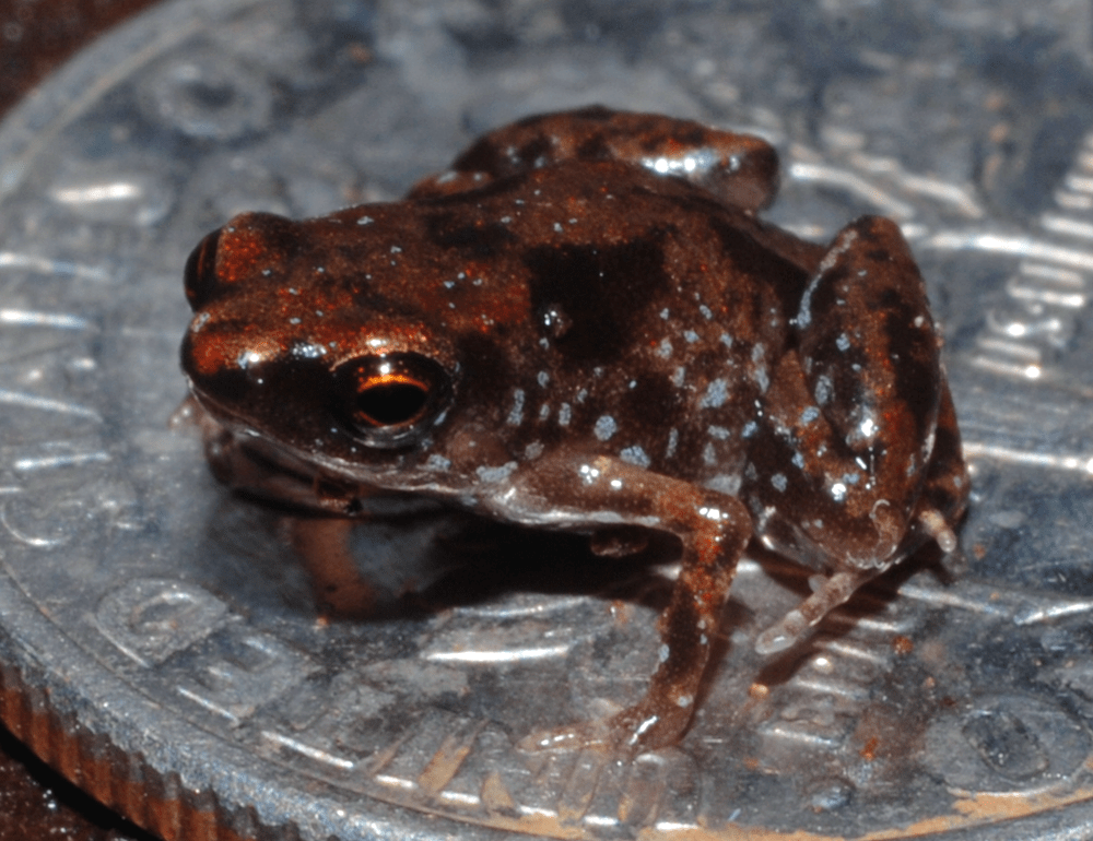 The smallest frog and vertebrate in the world, Paedophryne amanuensis, sitting on a U.S. dime