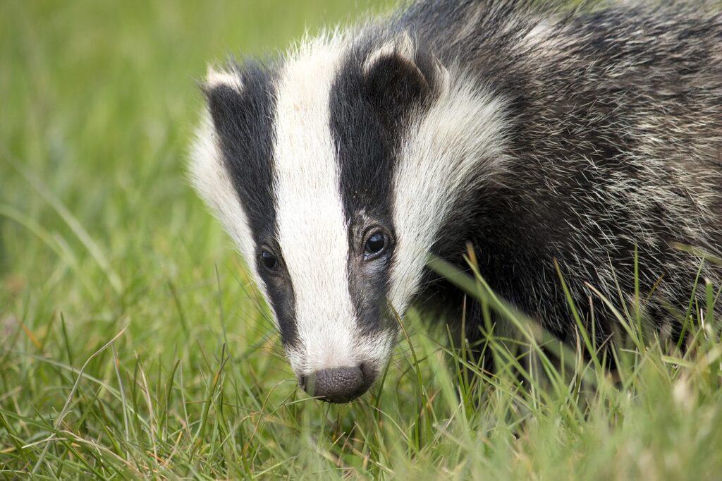 A close up of a badger's head