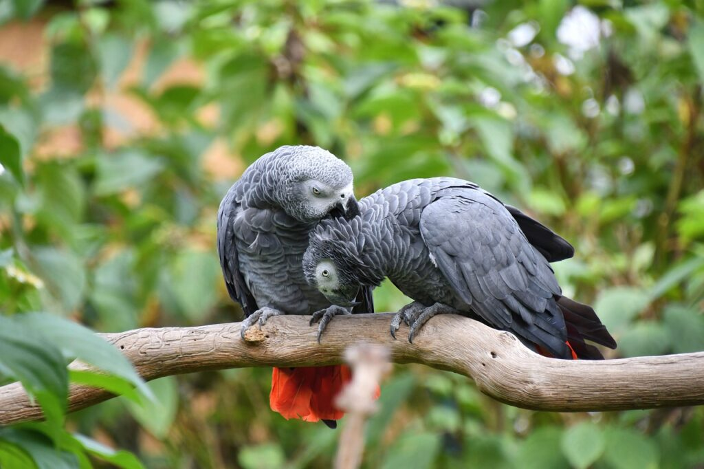 One African grey parrot preening another