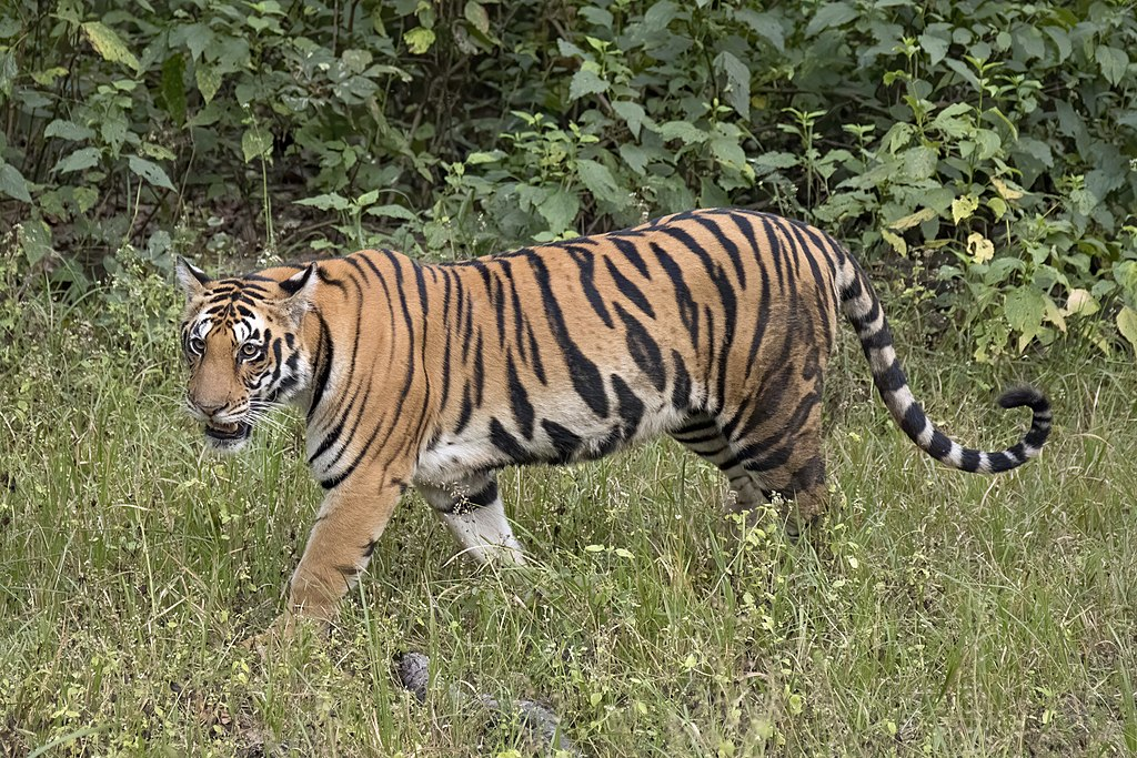 A Bengal tiger in Kanha National Park, India