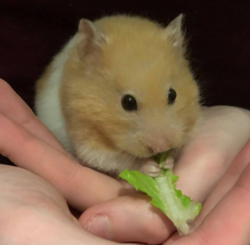 Our Syrian hamster, Bonnie, eating some romaine lettuce.