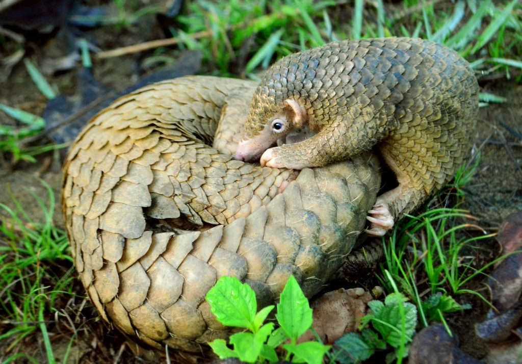 A mother Philippine pangolin (Manis culionensis) and her baby