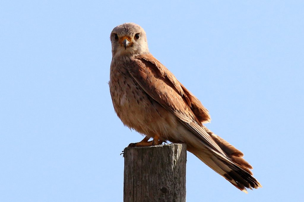 A male kestrel (Falco tinnunculus) perching on a stump