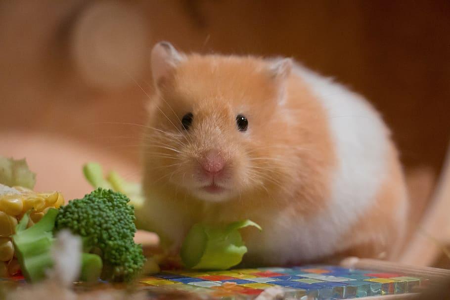 Syrian hamster eating broccoli