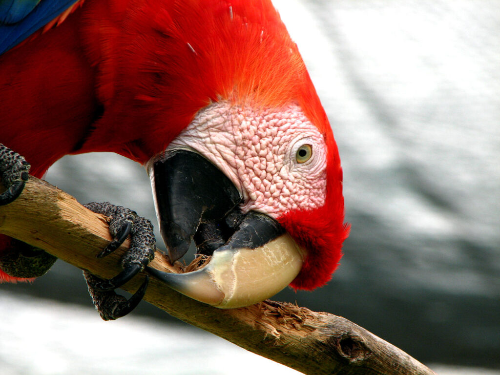 A scarlet macaw (Ara macao) chewing on parrot-safe wood