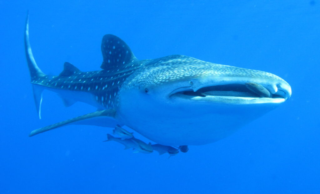 A whale shark being followed by suckerfish, or remoras