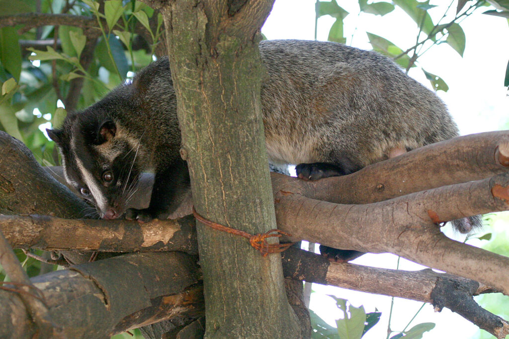 A masked palm civet in a tree