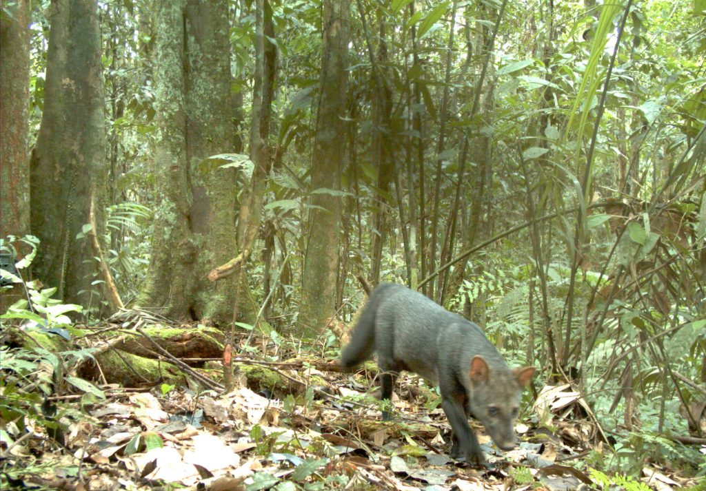 A photo of the elusive short-eared dog (Atelocynus microtis), taken by a camera trap