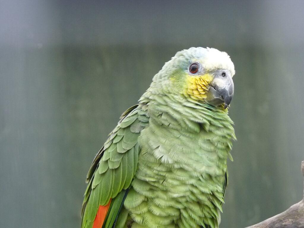 An orange-winged amazon (Amazona amazonica)